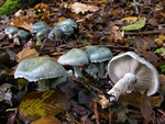Verdigris Toadstool (Stropharia aeruginosa)
